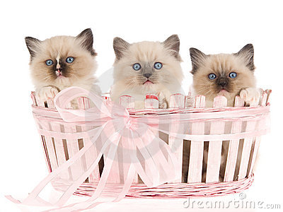 3 Pretty Ragdoll kittens in pink basket