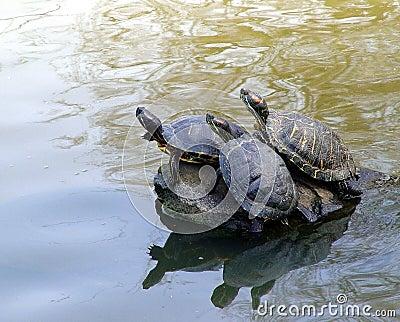 3 tortugas