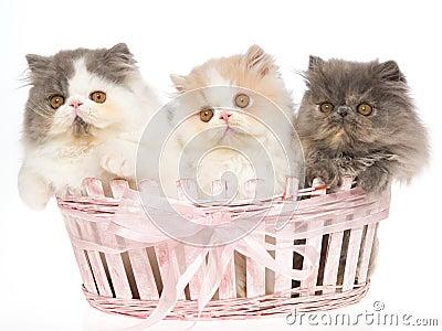 3 very cute Persian kittens in pink basket