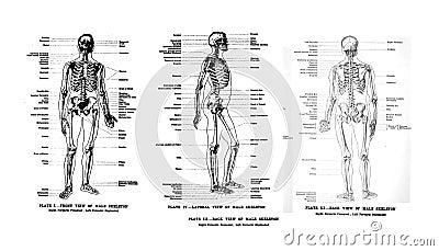 3 Views of the human skeleton Editorial Photo