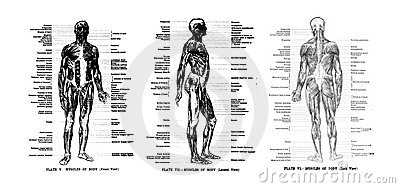 3 Views of the human skeleton Editorial Image