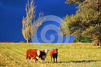 3 vitelli