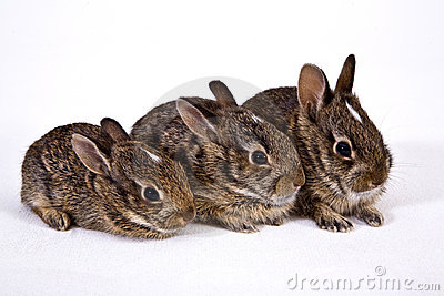 3 wild baby rabbits