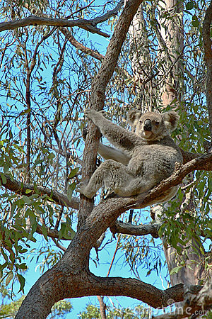胶考拉结构树