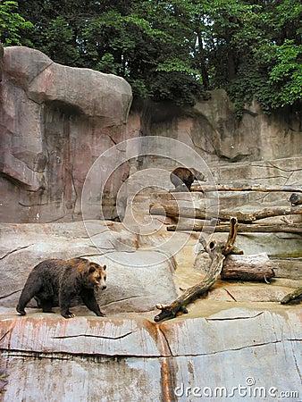负担北美灰熊