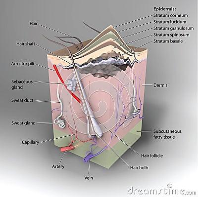 交叉d分层堆积显示皮肤结构的主要部分