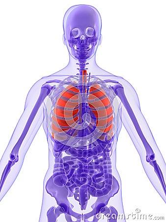 anatomia: anatomia