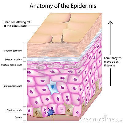 3d anatomy of the epidermis of the skin