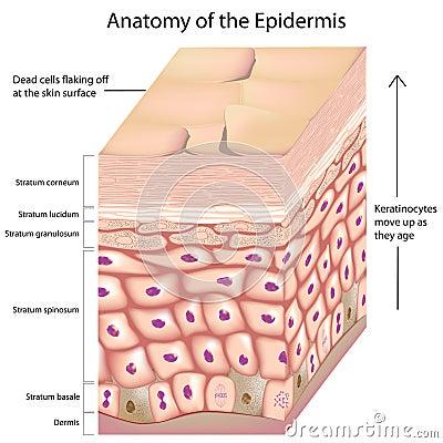 Free 3d Anatomy Of The Epidermis Stock Image - 28721111