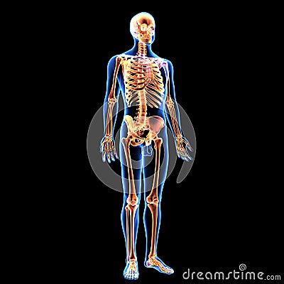 Free 3d Illustration Of Human Body Skeleton Anatomy Royalty Free Stock Image - 101896606