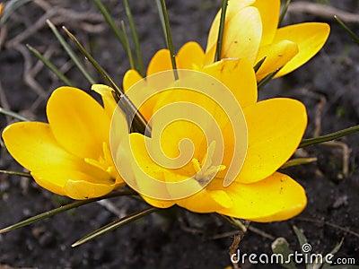 4以后的番红花春天黄色