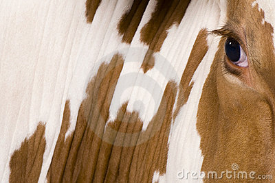 4接近的母牛眼睛黑白花牛老年