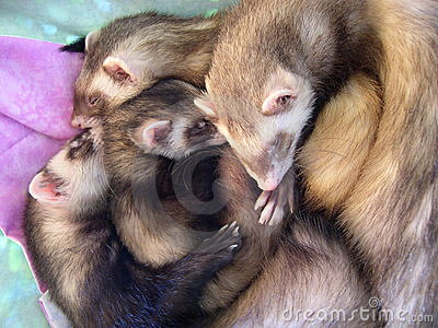 4 Beautiful Sleeping Ferrets
