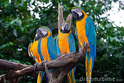 4 Blue-and-Yellow Macaw parrots