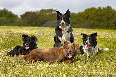 4 Border Collies