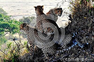 4 Cheetahs Sitting And Lying During Daytine Free Public Domain Cc0 Image