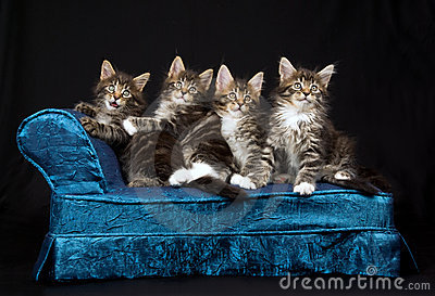 4 Cute Maine Coon kittens on blue chaise