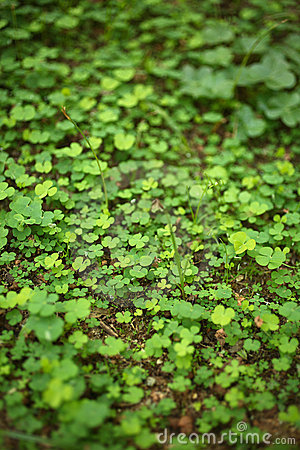 Free 4 Leaf-Clover Forest Stock Photography - 5219312