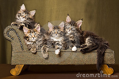 4 Maine Coon kittens on chaise sofa