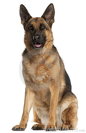 4 psiego niemieckiego starego pasterskiego siedzącego rok