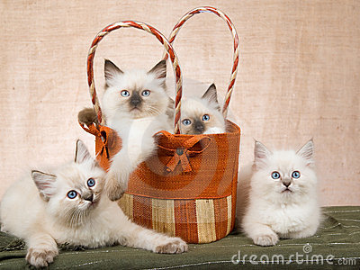 4 Ragdoll kittens in brown handbag