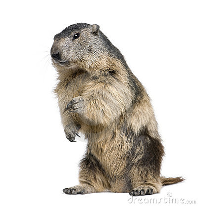 4 vieux ans de marmota alpestre de marmotte
