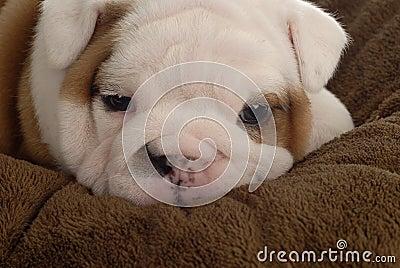 4 week old bulldog puppy