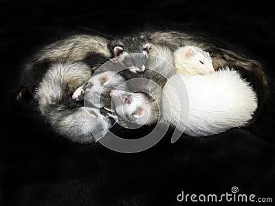5黑色白鼬