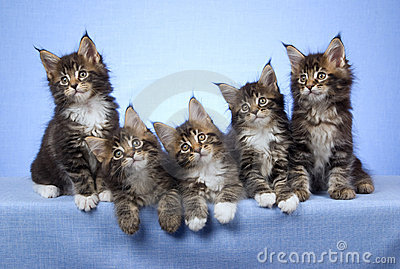 5 Cute Maine Coon kittens sitting in a row