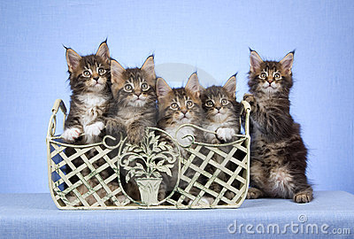 5 Maine Coon kittens in container