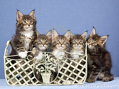 5 Maine Coon kittens in a row
