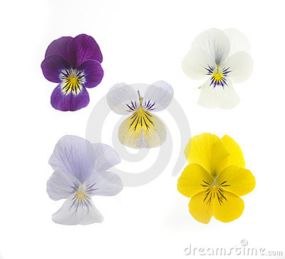 Free 5 Pansies Stock Photo - 732830