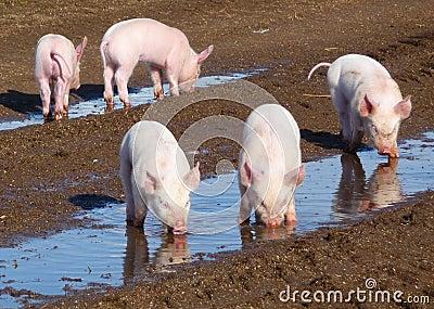 5 piglets