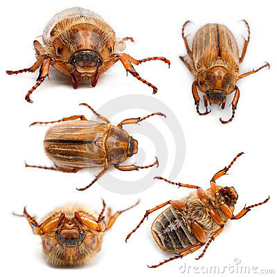 5 summer chafer or European june beetles