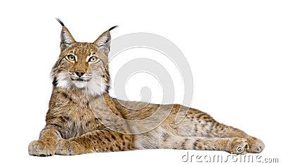 5 vieux ans de lynx eurasien
