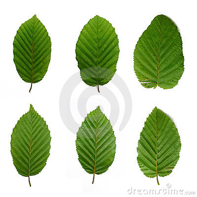 Free 6 Beech Leafs Stock Image - 6309681