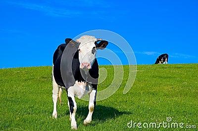 6 krów pole