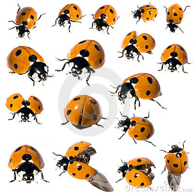 Free 7 Spot Ladybird In Different Positions Stock Images - 3081884