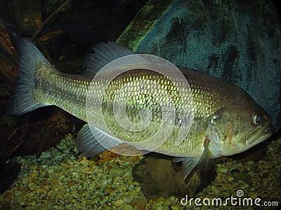 8 lb Largemouth Bass