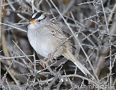 897 - White-crowned Sparrow (12-11-2016) Patagonia Lake, Santa Cruz Co, Az -01 Free Public Domain Cc0 Image