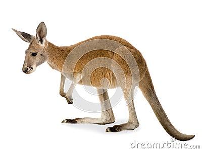 9 barn för rufus för kängurumacropusmånader röda