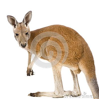 9 jeunes rouges de rufus de mois de macropus de kangourou