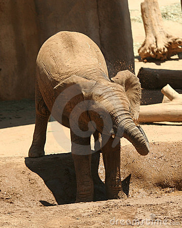 Free A Baby African Elephant Cools Off Stock Photo - 10464370