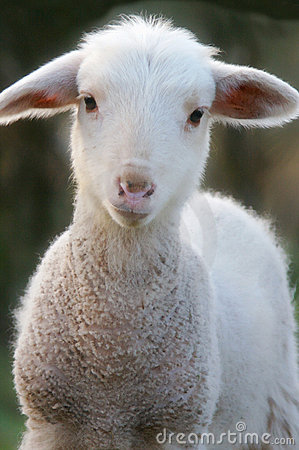 Free A Baby Lamb Stock Images - 5417104