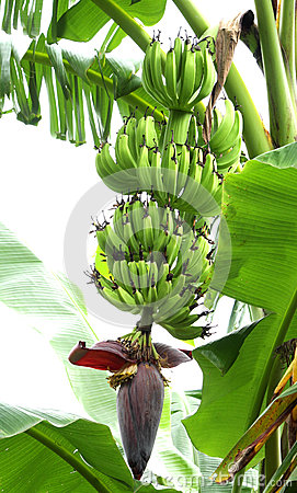 Free A Beautiful Bunch Of Unripe Banana Stock Image - 26497151