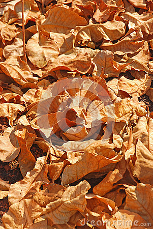 Free A Big Pile Of Dry Brown Leaves Stock Photo - 36763060