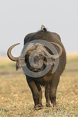 Free A Bird Riding On Back Of Cape Buffalo Stock Photography - 36961892