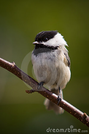 Free A Black-Capped Chikadee Close-up Stock Image - 14829531