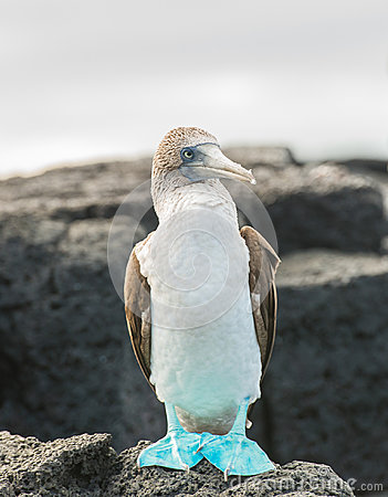 Free A Blue Footed Booby On Rocks. Taken On Floreana Island, Galapagos Royalty Free Stock Images - 97175359