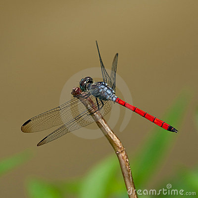 Free A Blue Red Dragonfly Royalty Free Stock Photo - 14370825